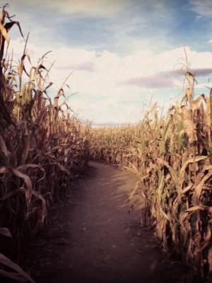 Corn maze trail